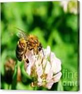Clover Bee Canvas Print