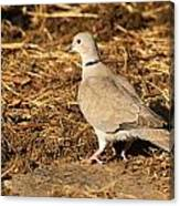 Collared Dove Canvas Print