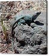 Collared Lizard Canvas Print