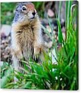 Columbian Ground Squirrel Canvas Print