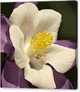 Columbine In The Morning Canvas Print
