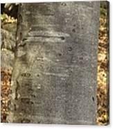 Common Beech (fagus Sylvatica) Canvas Print