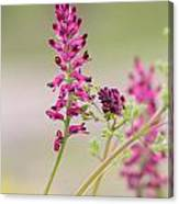 Common Fumitory Canvas Print