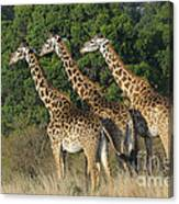 Common Giraffe Canvas Print
