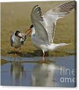 Common Tern Sterna Hirundo Canvas Print
