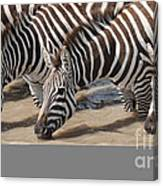 Common Zebras Drinking Water Canvas Print