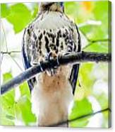 Coopers Hawk Perched On Tree Watching For Small Prey Canvas Print