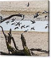 Coots-mud Hens Canvas Print