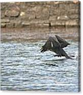 Cormorant Water Takeoff Canvas Print