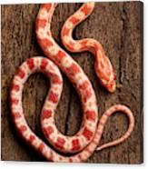 Corn Snake P. Guttatus On Tree Bark Canvas Print