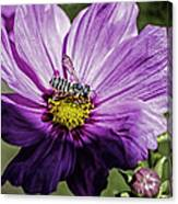 Cosmos Flower And Bee Canvas Print
