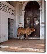 Cow At Church At Colva Canvas Print