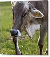 Cow In Heiterwang Canvas Print