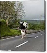 Cow Walks Along Country Road Canvas Print