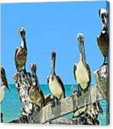 Crowd Of Brown Pelicans Perched On An Old Peer Canvas Print