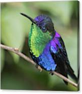 Crowned Woodnymph Hummingbird Male Canvas Print