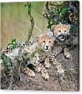 Curious Kittens Canvas Print