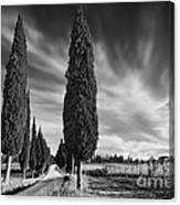 Cypress Trees- Tuscany Canvas Print