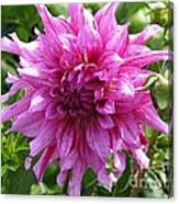 Dahlia Named Annette C Canvas Print