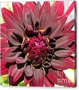Dahlia Named Black Wizard Canvas Print