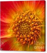 Dahlia Named Brian's Sun Canvas Print