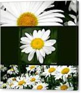 Daisy Collage Canvas Print