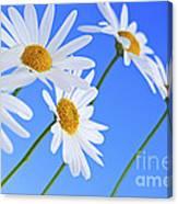 Daisy Flowers On Blue Background Canvas Print