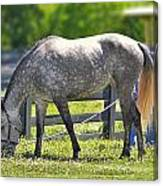 Dapple Grey Horse Canvas Print