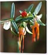 Darwinia Citriodora Canvas Print