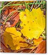 Dead Poplar Leaves Canvas Print