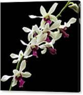 Dendrobium 'lloyd Stainton'. Canvas Print