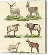 Different Kinds Of Sheep Canvas Print