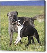 Dogs Playing With Stick Canvas Print