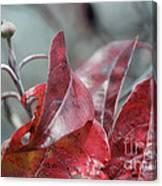 Dogwood  Autumn Canvas Print