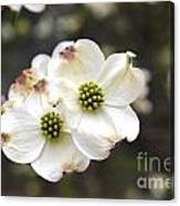 Dogwood Blooms Canvas Print