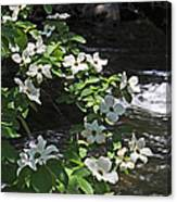 Dogwoods In Yosemite Canvas Print