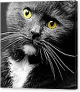 Domestic Gray And White Short Hair Canvas Print