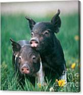 Domestic Piglets Canvas Print