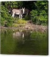Donkeys Canvas Print