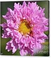 Double Click Cosmos Named Rose Bonbon Canvas Print