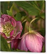 Double Lenten Rose Canvas Print