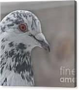 Dove Pigeon Canvas Print