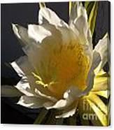Dragon Fruit Blossom In Profile Canvas Print
