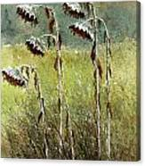 Dried Up Sunflower Patch Canvas Print