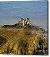 Driftwood In Beach Grass Canvas Print
