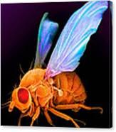 Drosophila Canvas Print