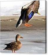 Ducking Around Canvas Print