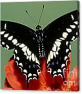 Eastern Black Swallowtail Butterfly Canvas Print