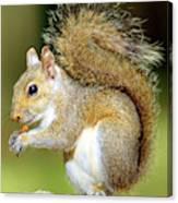 Eastern Gray Squirrel Canvas Print