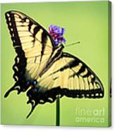 Eastern Tiger Swallowtail Butterfly Square Canvas Print